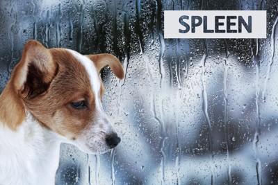 窓に打ち付ける雨とジャックラッセルテリア犬