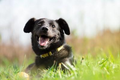 草の上に伏せている黒い犬