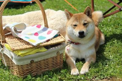 柴犬とピクニックバスケット
