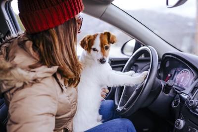 車の運転席にいる女性の膝に乗るジャックラッセルテリア