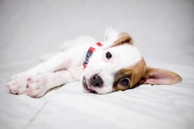 横たわる子犬