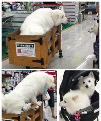 カートに乗った大きな白い犬
