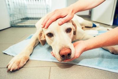 ペットシーツの上で休む犬を撫でる人の手