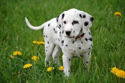 タンポポとダルメシアンの子犬