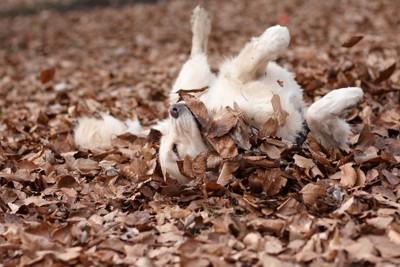 落ち葉の上で転がる犬