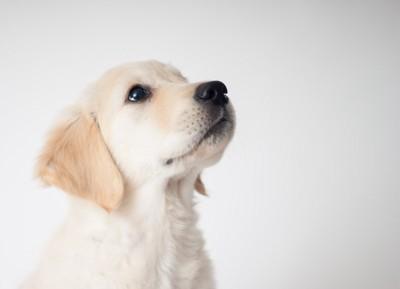 ゴールデンの子犬の横顔