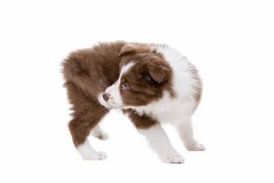 しっぽを追い抱える子犬