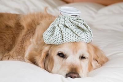 氷嚢で涼む犬