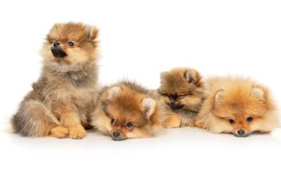 ジャーマンスピッツの子犬たち