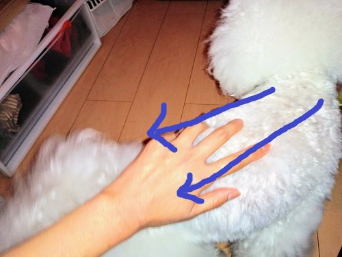 白い犬 後姿 背中マッサージ 矢印
