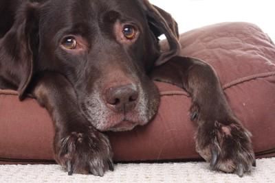 チョコ色のシニア犬