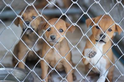 金網越しに見つめる3頭の子犬