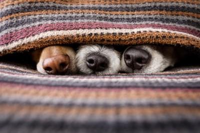 毛布から鼻を覗かせている3頭の犬
