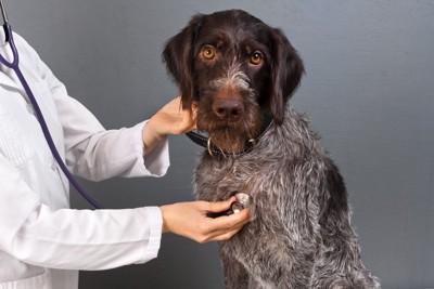 聴診器をあてられる犬