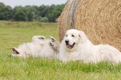 干し草前に寝転ぶグレートピレニーズ