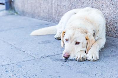 道路で寝そべる犬