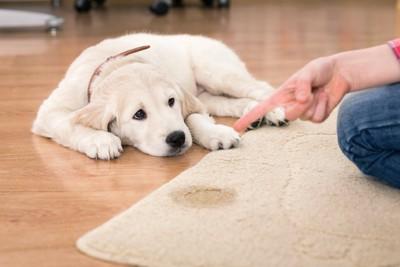 カーペットの上で粗相をして飼い主に指摘されている子犬