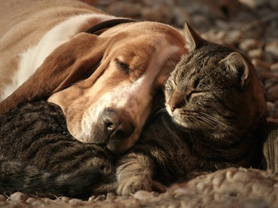 猫を枕にして寝ている犬