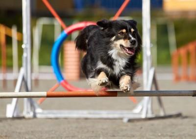 アジリティ、ジャンプする犬