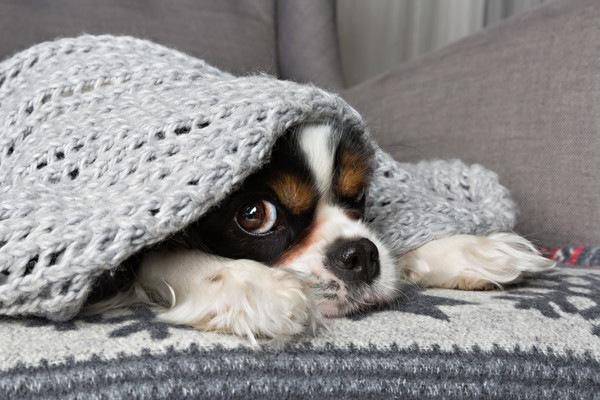 布団にに隠れる犬