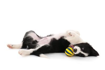 寝転がりながら遊ぶ犬