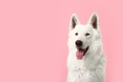 ピンクの背景とホワイトシェパード