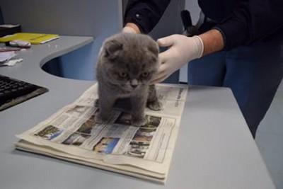 灰色の子猫