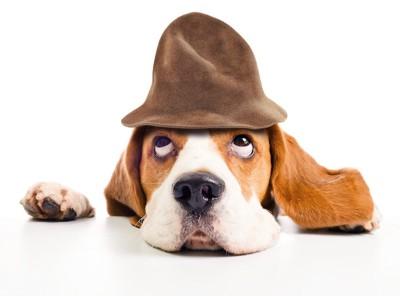 帽子を被って上目遣いをするビーグル犬