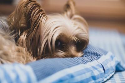 布団に顔を押し付けながらそっとこちらを見つめる犬