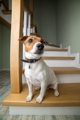 階段からこちらを見ている犬