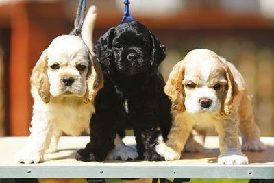 台の上に乗った3匹のアメリカンコッカースパニエルの幼犬