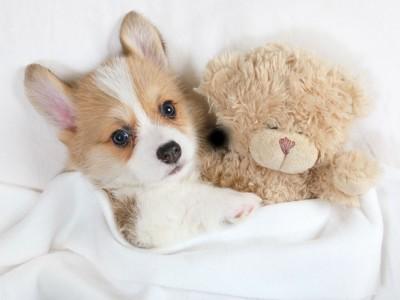 コーギーの子犬とクマのぬいぐるみ