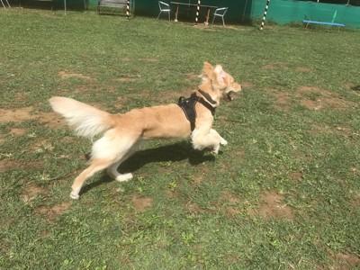 芝生を走り回って遊ぶ犬