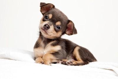 小首を傾げる子犬