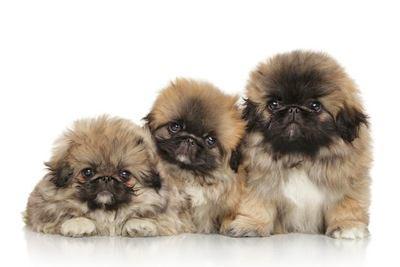 寄り添う3匹のペキニーズの幼犬