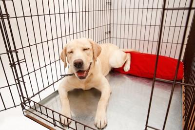 ケージの中にいるおだやかな表情の犬