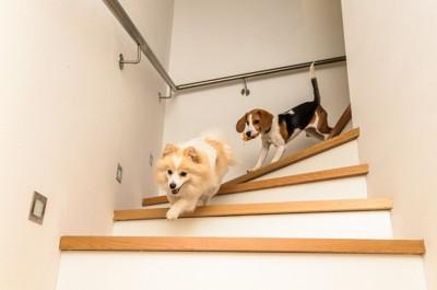 階段をかけおりる犬二頭