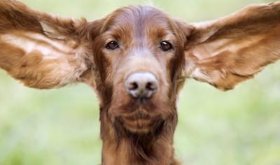 大きな耳を広げた犬の顔