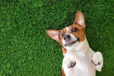 仰向けに寝転んで牙を見せている犬