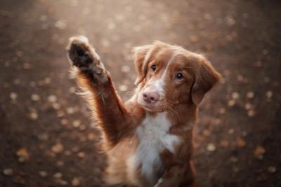 手を上げる垂れ耳の犬
