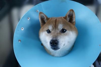 青いエリザベスカラーを着けた柴犬