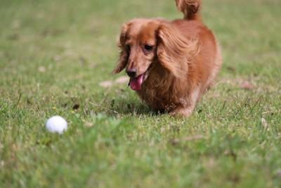 ボールで遊ぶミニチュアダックスフンド