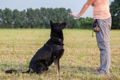 待てをする黒い犬