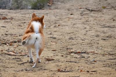 片方の後ろ足を伸ばす柴犬の後ろ姿