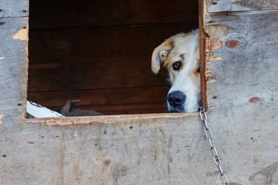小屋から顔をのぞかせる犬