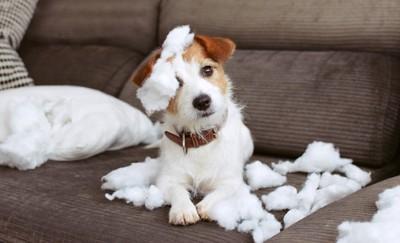 ソファの上でクッションの綿にまみれる犬