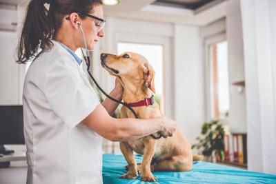 病院で聴診器を当てられる犬