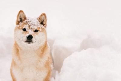 頭に雪をのせた柴犬