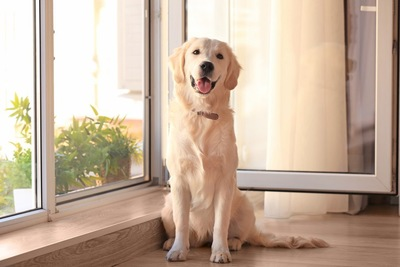 窓際に座っている笑顔のゴールデン