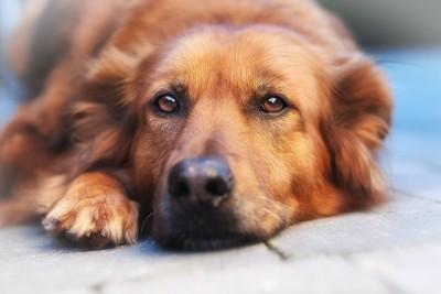 伏せて遠くを見つめる茶色い犬